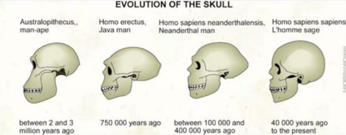 Evolution of the Human Skull